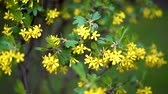 gele achtergrond : Bushes with small yellow flowers flutter in light spring wind.