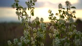 flowering : Bird cherry with white flowers swaying in the light wind in the rays of the setting sun.
