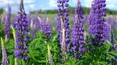 esinti : Beautiful large lilac forest flowers lupine with green leaves swaying in the wind in the meadow on a Sunny day against the blue sky with white clouds. Stok Video