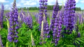 leylak : Beautiful large lilac forest flowers lupine with green leaves swaying in the wind in the meadow on a Sunny day against the blue sky with white clouds. Stok Video