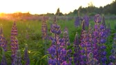 lupine : Pretty purple Lupin, flowers swaying gently in the breeze at sunset.