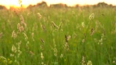 szárak : Spikelets swaying in the meadow grass, under the quiet wind at sunset.