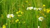 yellow flower : Wildflowers chamomile with white petals grow in the dense green grass in the meadow on a Sunny summer day. Stock Footage