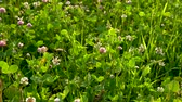 jetel : Green meadow with beautiful pink clover flowers on a Sunny summer day.