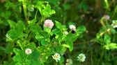 escarabajo : Yellow fluffy bumblebee collects nectar on pink clover flowers among green grass on a Sunny day. Archivo de Video