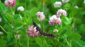 трилистник : A fluffy black caterpillar with yellow stripes on its back crawls over pink clover flowers on a Sunny day in a meadow. Стоковые видеозаписи