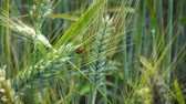 coccinelle : Ladybug crawling on ears of wheat that swaying in the wind on a summer day in the field.