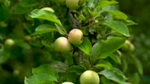 background color : Ripe apples hang on a green tree among the leaves on a summer day.