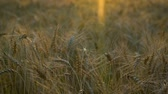 orelhas : Spikelets of ripe Golden wheat on a windless evening at sunset .