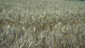 orelhas : Spikelets of ripe Golden wheat in calm and windless weather on a Sunny summer day.