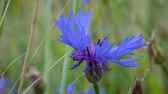 수레 국화 : Blue flowers cornflowers swaying in the wind among the grass and ears of wheat on a Sunny summer day.