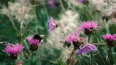 pszczoły : A small fluffy striped bumblebee collects nectar sitting on a pink flower in a meadow on a summer day.