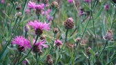 kvetoucí : Pink wildflowers swaying slightly in the light summer wind in the meadow. Dostupné videozáznamy