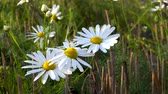 Large white Daisy flowers slightly swaying gently in the breeze on a summer evening at sunset.