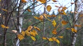 ladin : Yellow dry autumn leaves swaying on the thin branches of birch in the light autumn wind in the evening.