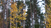 ladin : Yellow dry autumn leaves flutter on a thin aspen in the autumn forest against the background of a pine forest in the evening.