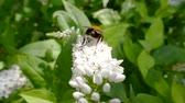 Патагония : insect bumblebee crawling on a white flower in the Park and collects nectar Стоковые видеозаписи