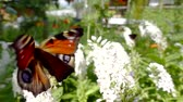 polinização : amazing vivid peacock butterfly is sitting on a white blooming flowers and flying on other on a lawn Stock Footage
