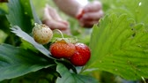 reap : red juicy strawberries are hanging on a bush in garden, human hands are approaching and plucking berries