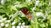 flower extract : beautiful butterfly is resting on a white blooming shrub in sunny summer day in garden and flying off