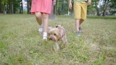 pooch : small fluffy dog is walking on a lead on green grass in summer, little girl is holding a leash, legs of children