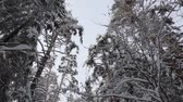 трафик : flying camera in a fabulous winter forest. pine trees in the snow on the branches Стоковые видеозаписи