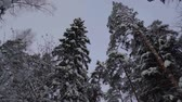 vzpřímený : Beautiful strong tall snowy trees in a winter forest, walk in nature.