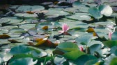 Water Lily Flowers, at Showa Memorial Park, Tokyo, Japan, Filmed in 4 K Stock Footage