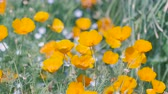 California Poppy Flowers, at Showa Memorial Park, Tokyo, Japan, Filmed in 4 K Stock Footage