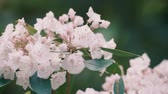 Kalmia Flowers, at Showa Memorial Park, Tokyo, Japan, Filmed in 4 K