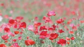 Shirley Poppy Flowers, at Showa Memorial Park, Tokyo, Japan, Filmed in 4 K Stock Footage