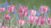 memorial : Tulip Flowers, at Showa Memorial Park, Tokyo, Japan, Filmed in 4 K. Stock Footage