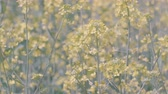 rasen : Flowers of Field Senf, bei Showa Memorial Park, Tokio, Japan, in 4 K. Gefilmt Stock Footage