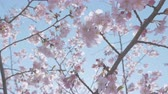 memorial : Kawazu Cherry blossoms, at Showa Memorial Park, Tokyo, Japan, Filmed in 4 K.