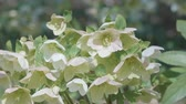 christmas fragrances : Flowers of Christmas rose, at Showa Memorial Park, Tokyo, Japan, Filmed in 4 K.