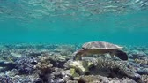 barreira : hawksbill sea turtle