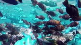 barreira : swarm of parrotfishes
