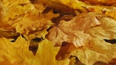 Beautiful autumn maple leaves on the wind