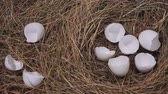 Eggshell in a nest. Broken eggs on dry grass Wideo