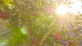 adam : Beautiful tree with red apples. Sun rays. Camera in motion
