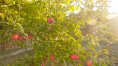 green area : A small fruit tree with beautiful apples. Beautiful Sunny rays. Camera in motion Stock Footage