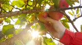 adam : A woman picking apples from a tree. Close-up. Slow motion