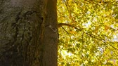 living environment : The sun hides behind a tree. Beautiful autumn. Camera in motion