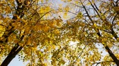 living environment : Autumn landscape. Beautiful yellow leaves. Bright sunshine. Camera in motion