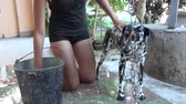 belo : Cuban teenager girl bathing her Dalmatian dog in a house porch, young teen taking care of her beautiful purebreed pet.