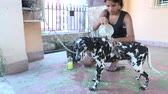 xampu : Cuban teenager girl bathing her Dalmatian dog in a house porch, young teen taking care of her beautiful purebreed pet.