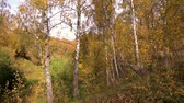 ladrão : Birches in a sunny golden autumn day. Leaf fall.