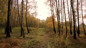 novembro : Birches in a sunny golden autumn day. Leaf fall.