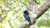 lentejoula : Spangled Drongo (Dicrurus bracteatus) on branch in tropical rain forest at Thailand.