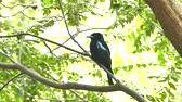 lentejoula : Spangled Drongo (Dicrurus bracteatus) on branch in tropical rain forest